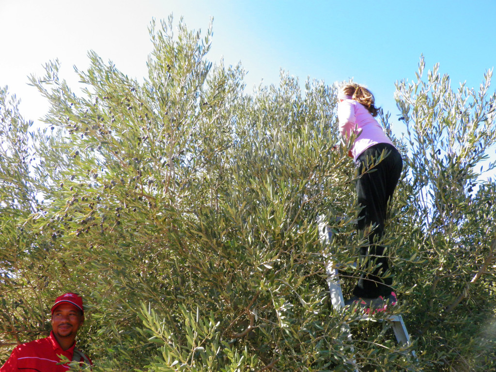 Children harvesting olives at Rio Largo Olive Estate