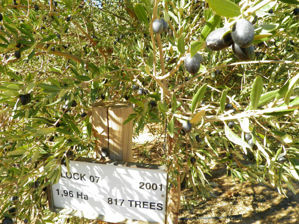Olive Tree at Rio Largo Olive Estate