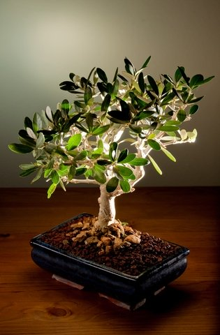 Olive trees as bonsai olive central for Olive plant care