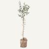 Woolies olive tree